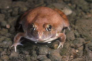 burrowing frog