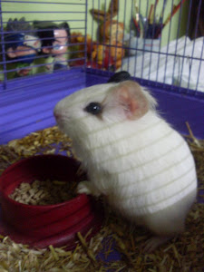 ''Ticklu'' My cute Guinea Pig