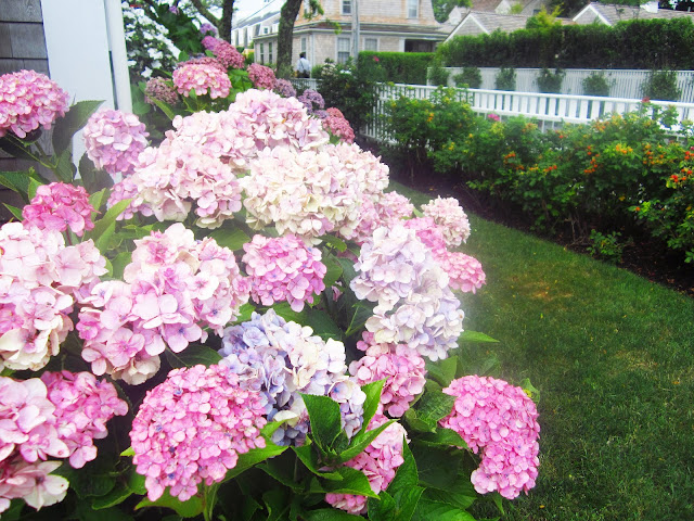pink hydrangeas in a garden