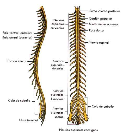 Octavo C: Neuronas, Sinapsis y Médula Espinal