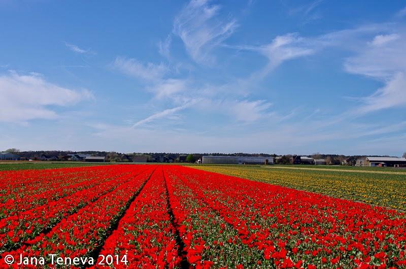 Tulip fields next to Noordwijkerhout