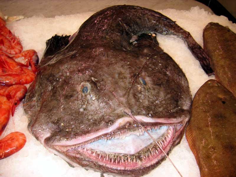 La cucina di cla coda di rospo o rana pescatrice for Cucinare rana pescatrice