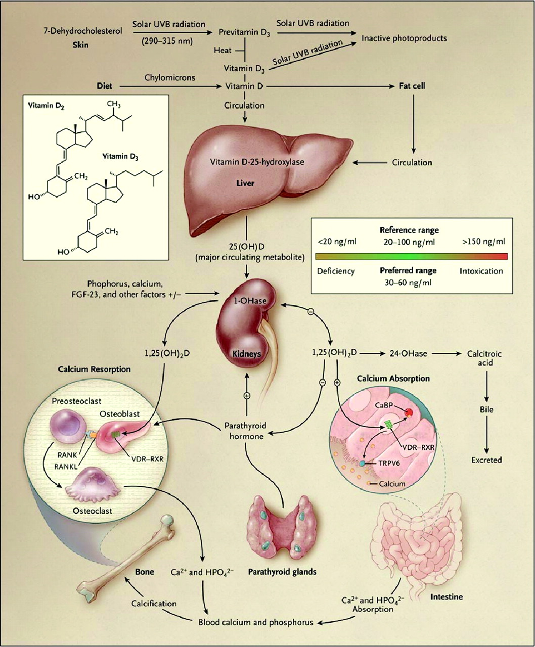 Doctors Gates: Synthesis and metabolism of vitamin D in the ...