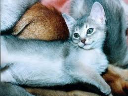 pictures of abyssinian cats