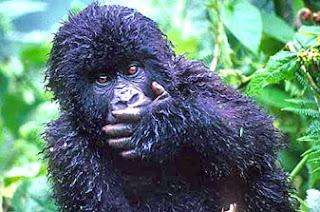 seekor anak gorilla yang sedang merenung