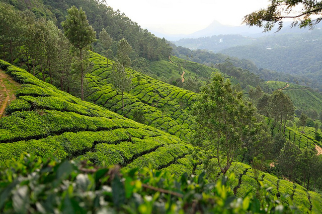 Tea garden munnar, natural view
