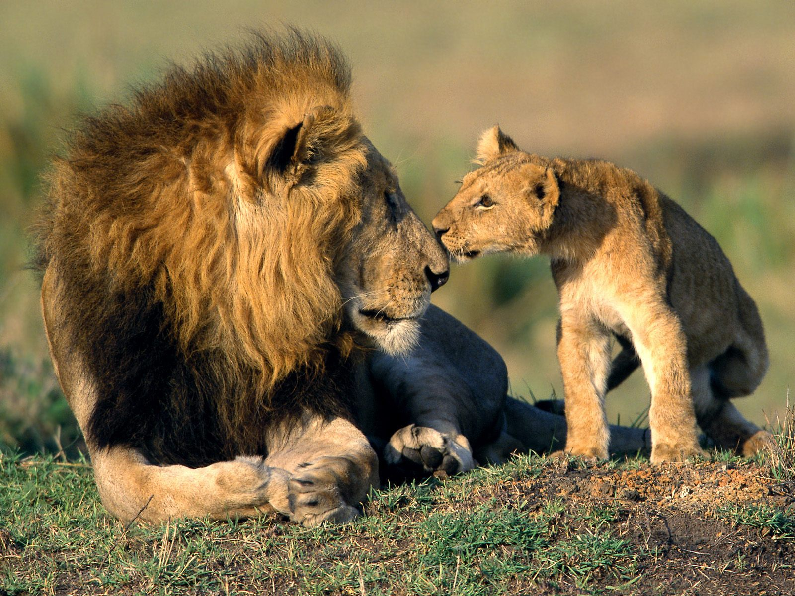 All Female Lion wallpaper