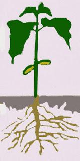 stem grow down