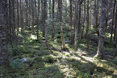 Cutler Coast woodland