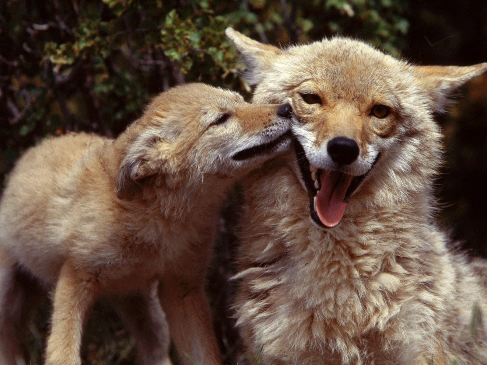 http://3.bp.blogspot.com/-N0DCUD_HLKQ/UHih0rA4nZI/AAAAAAAAMNU/-sMhC3wKl_I/s1600/Copia+de+Coyote+Mother+and+Pup.jpg
