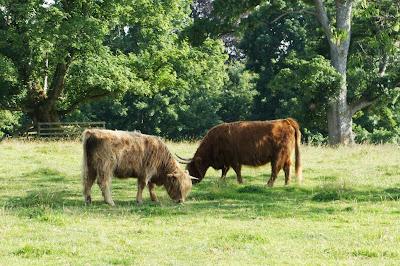 Vacas con flequillo en las Highlands