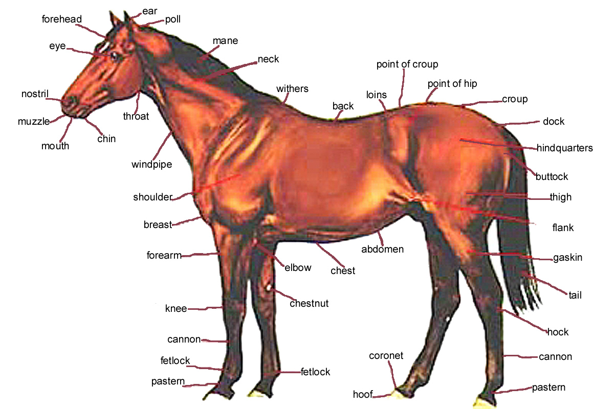 Harness Horse Anatomy - WIRE Center •