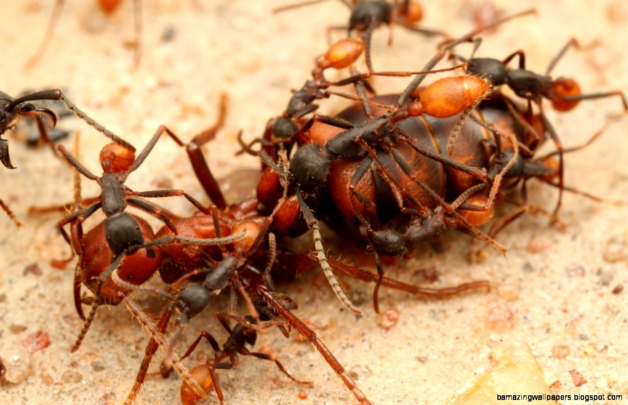 The Rockefeller University » Pictures of Ants