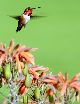 photographing hummingbirds in flight