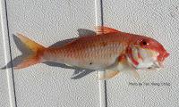 Cinnabar Goatfish