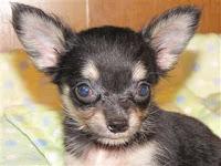 チワワ, 子犬, ロングコート, 仔犬, ブリーダー, 価格, 販売,ドッグフード, 通信販売, 通販