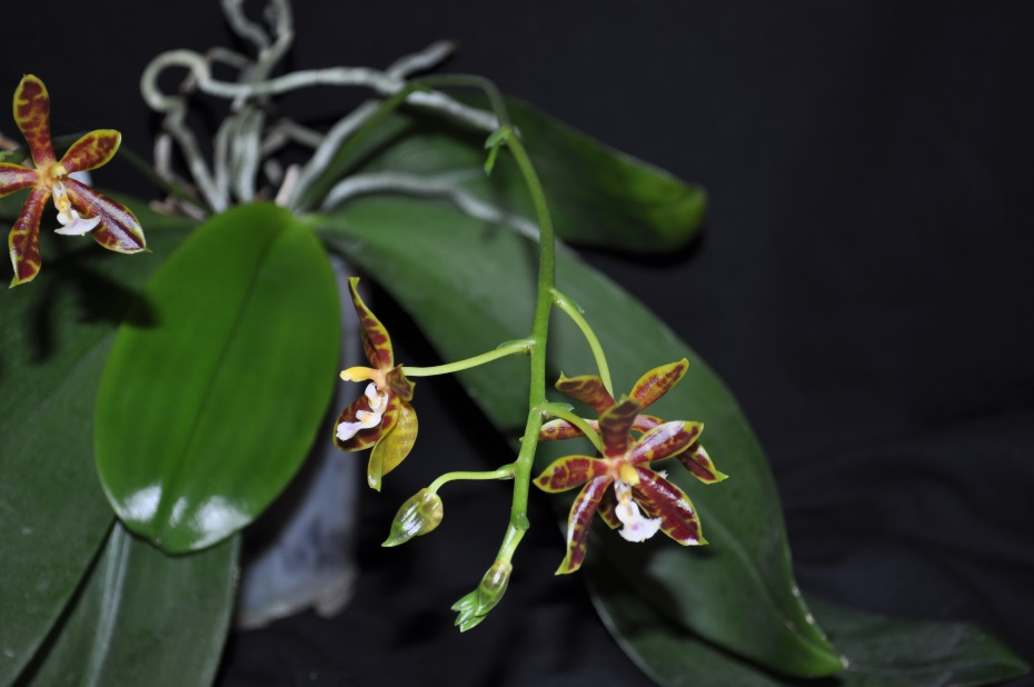 Le Genre Phalaenopsis Phalaenopsis+Mannosa