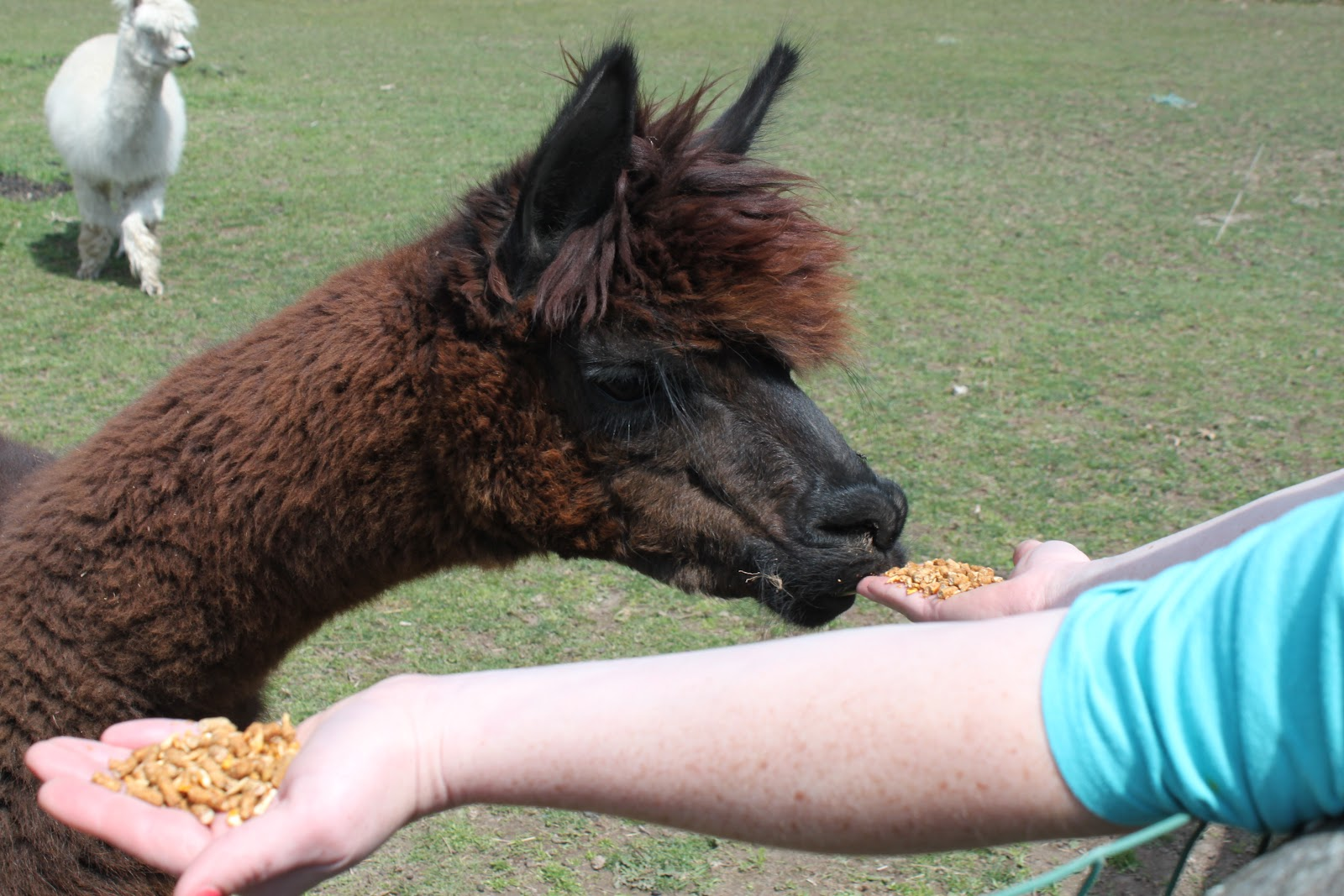 meals i have eaten alpacas we salute you
