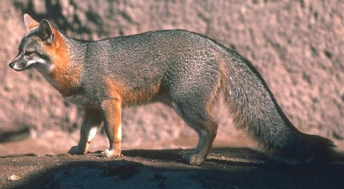 Gray fox habitat - photo#28