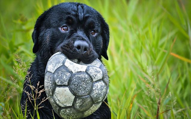 Perrito Jugando con una pelota