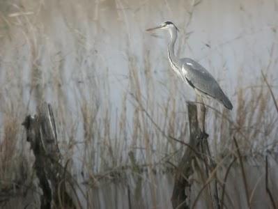 Galería de fotos de aves realizadas por miembros del grupo local SEO-Sevilla desde su inicio.