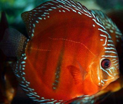 Symphysodon Discus fish