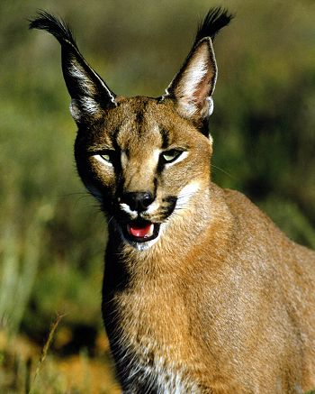 Wild Cats Breeds Az