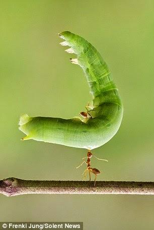 نملة ترفع يرقة 2