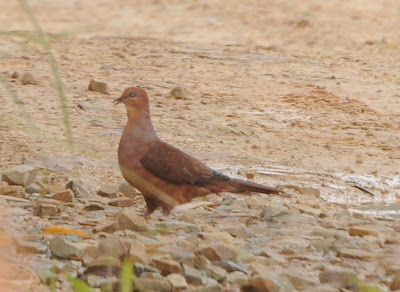 Ruddy Cuckoo-Dove (Macropygia emiliana)