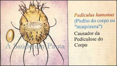 Pediculus humanus, causador da pediculose do corpo