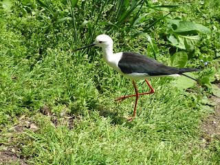 black tipped stilt Marwell Zoo