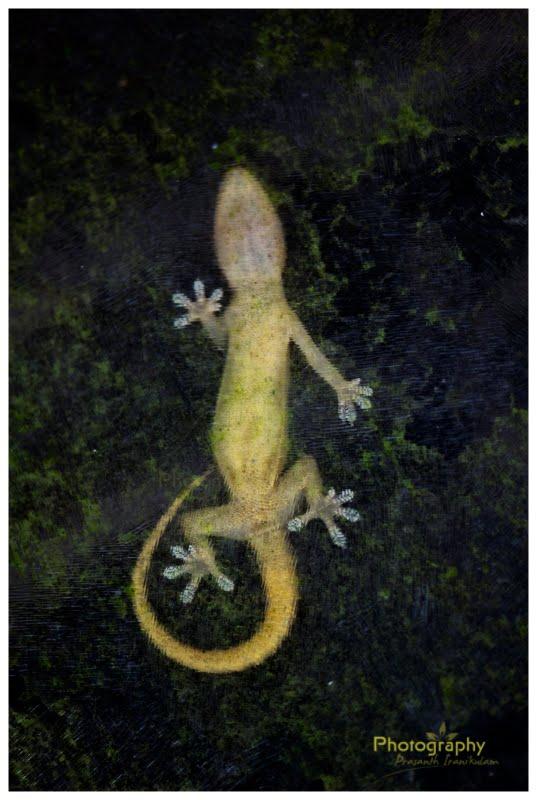 Common House Gecko@kerala