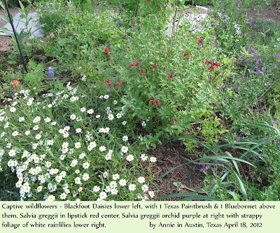 annieinaustin, salvia greggii with blackfoot daisies