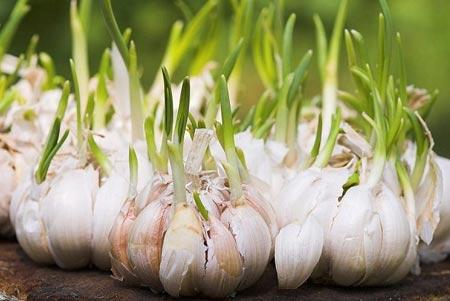 5 Manfaat Bawang Putih Bagi Kesehatan