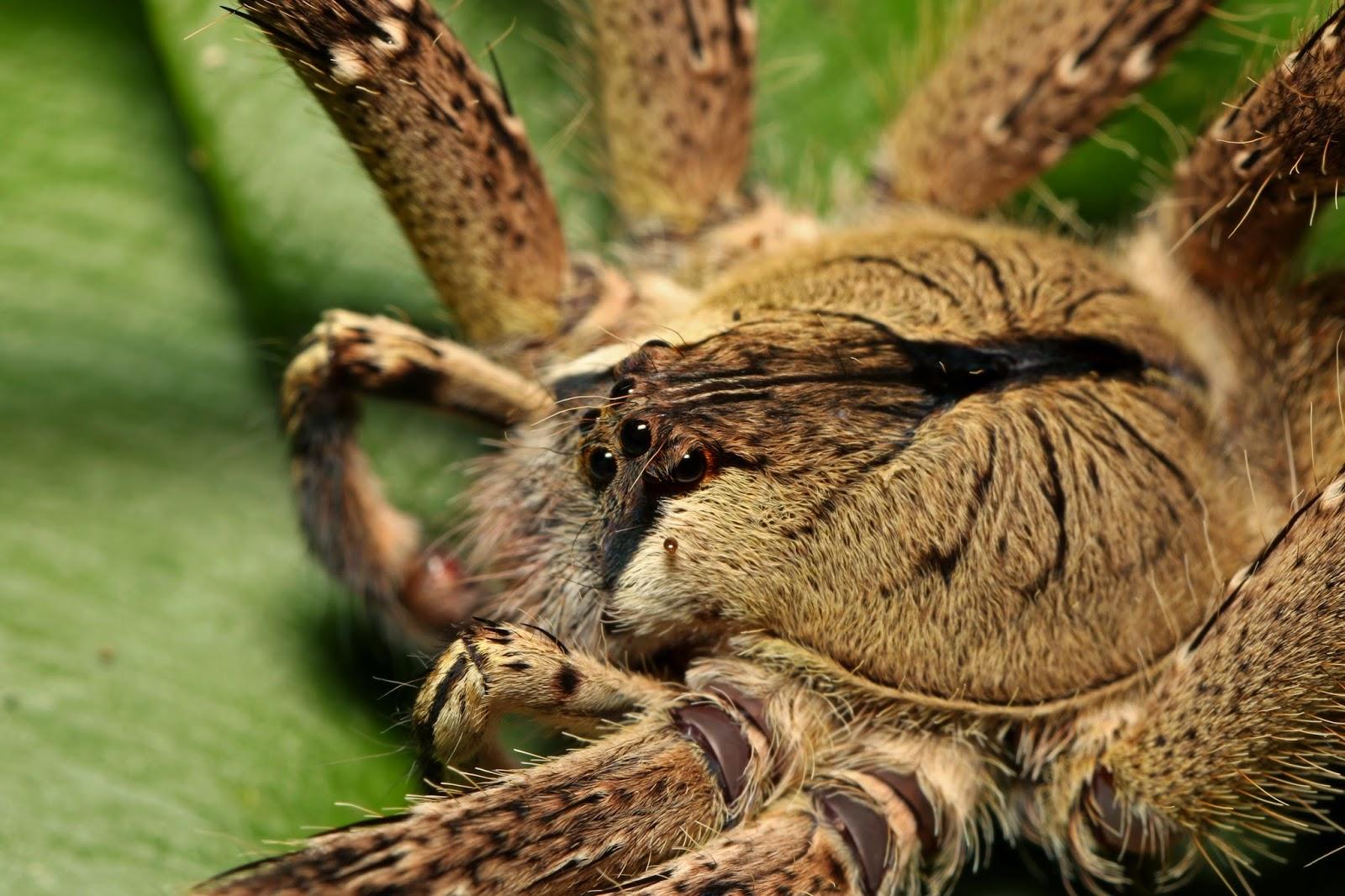 Deadliest spider in the world - photo#17