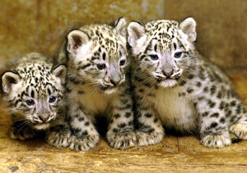 Cute baby snow leopard cubs - photo#7