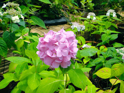 festival of hydrangeas at the Garden of Morning Calm in Gapyeong every summer