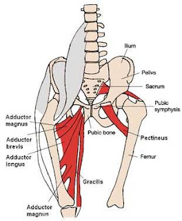 Anatomical illu... Lengthened Muscles