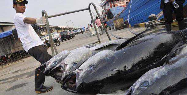 ikan tuna Indonesia