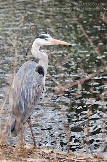 héron cendrée oiseau sauvage bord de l'eau