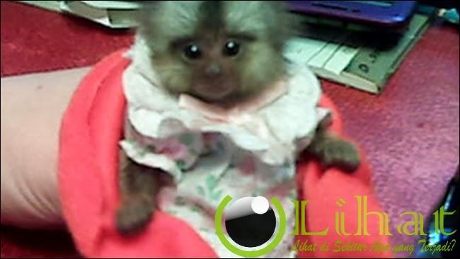 Monyet, Wow...