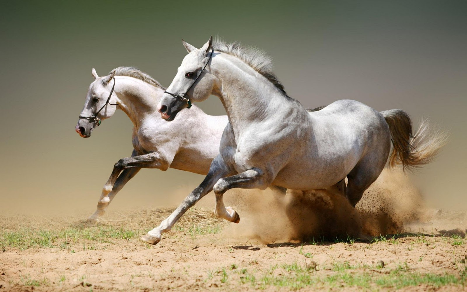 Great   Wallpaper Horse Couple - amazing+white+horses+background+hd+wallpaper+free  You Should Have_754815.jpg