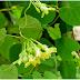 Điều trị bệnh trĩ bằng cây thuốc nam