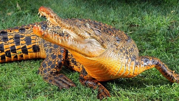 8 oddly colored creatures, amazing creatures, Orange Crocodiles