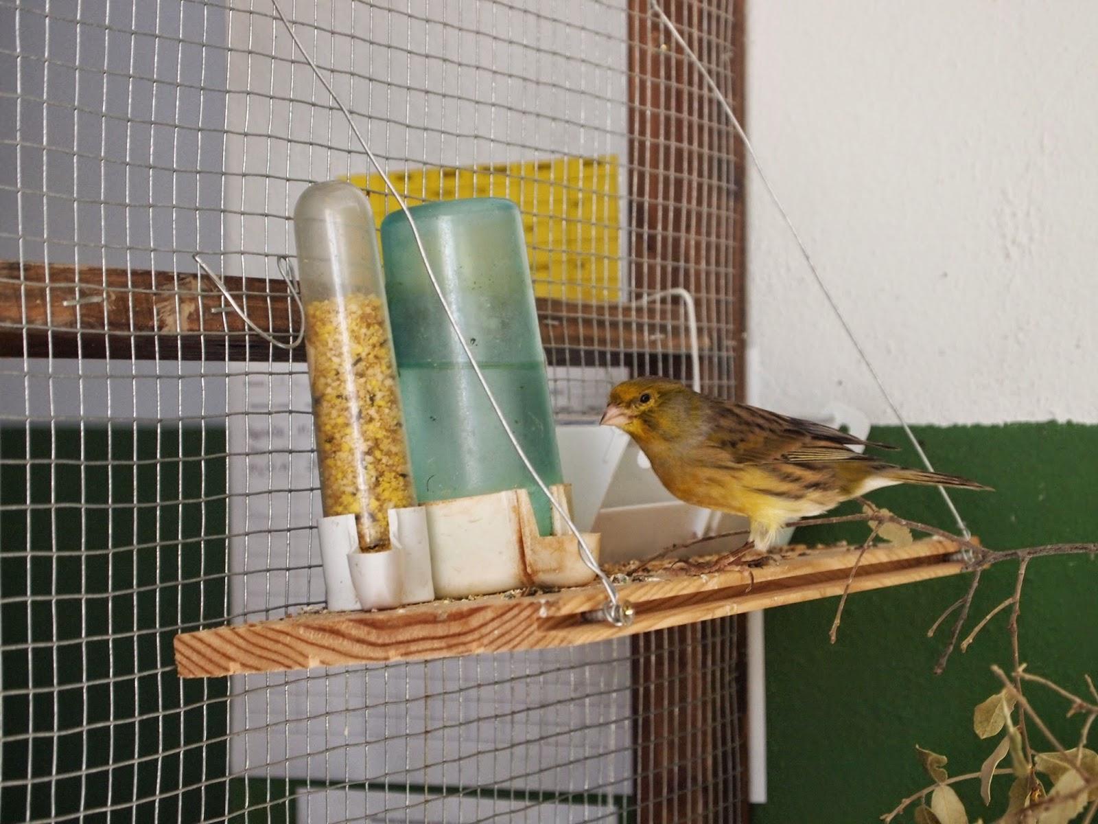 Imagen de un canario alimentándose