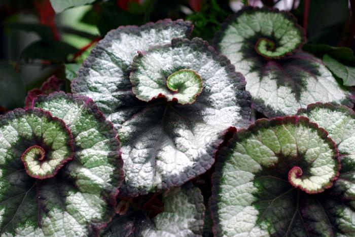 Begonia caracol guia de jardin for Caracol de jardin alimentacion
