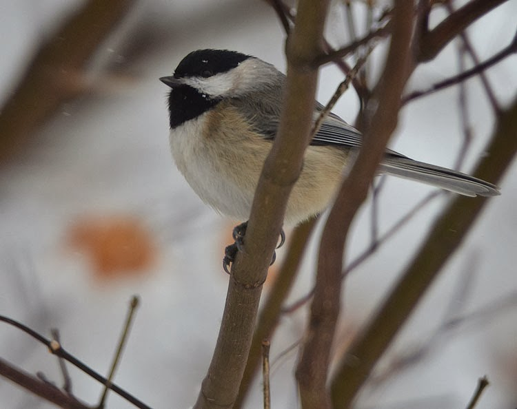 chickadee in the winter