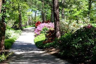 Path and pink rhododendrons