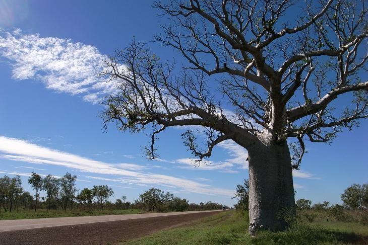 Les baobabs flore de l le de la r union for Entretien jardin reunion