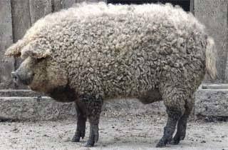 Mangalitsa, Si Babi Unik Yang Berbulu Domba
